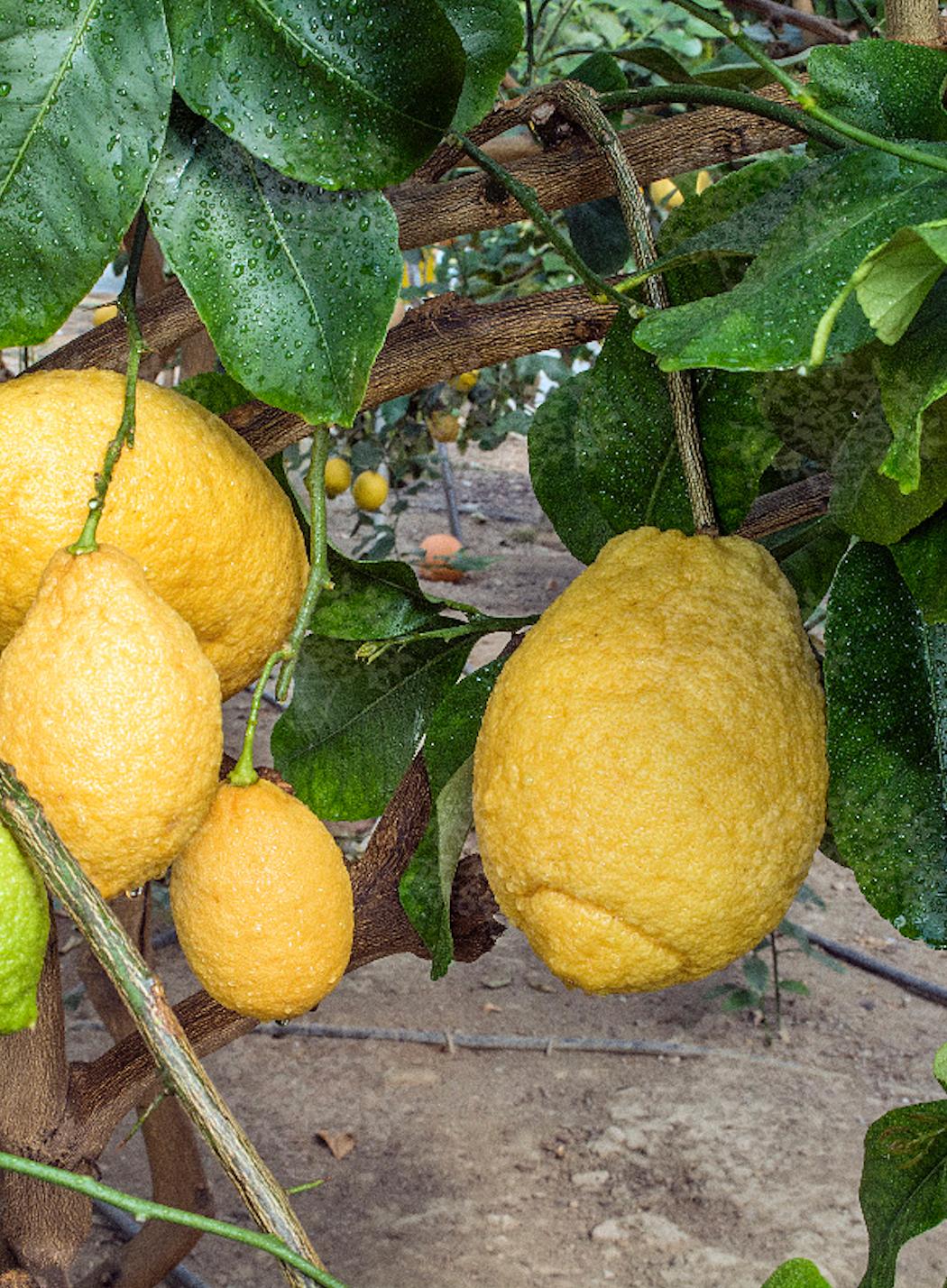 Cedrat ze szpinakiem i pomarańczą